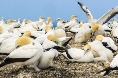 new zealand hawkes bay cape kidnappers gannet colony istk