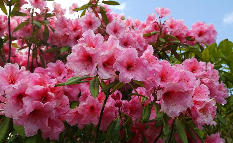 new zealand western north island rhododendrons vt