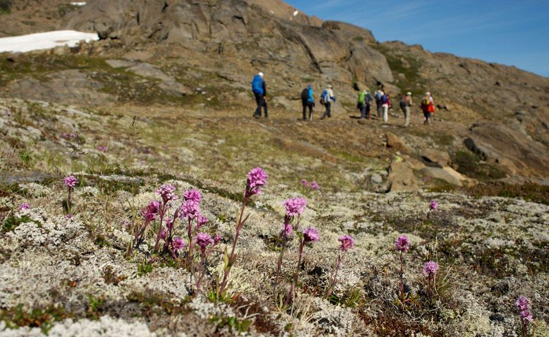 greenland hiking alpine catchfly tundra flower