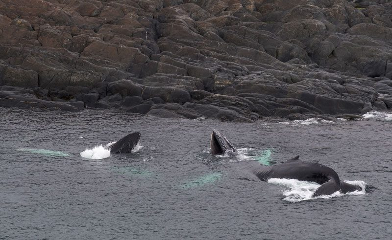 canada newfoundland humpbacks by rocky coast gte