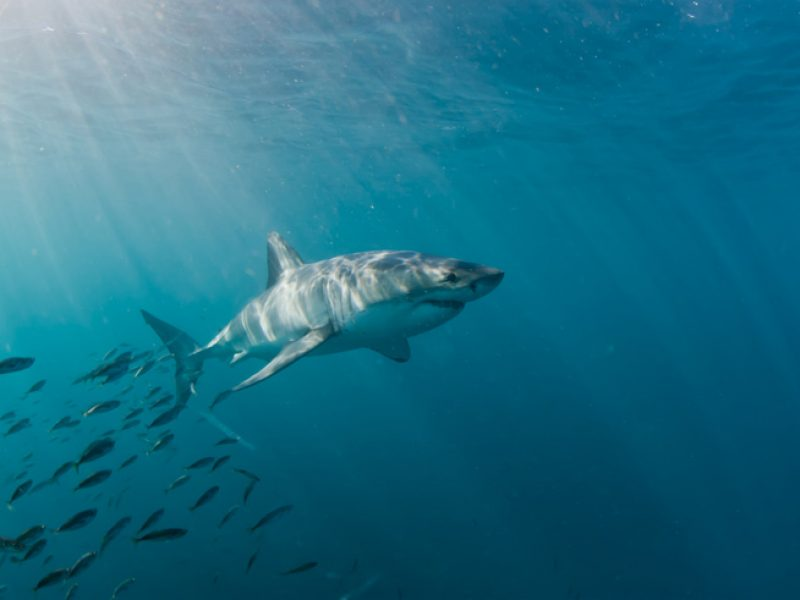 great white shark south africa iStock