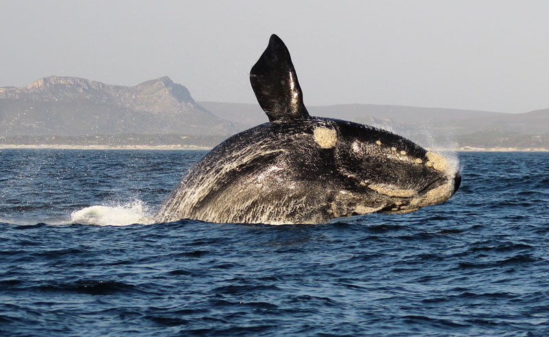 south africa hermanus southern right whale breaching dyer island