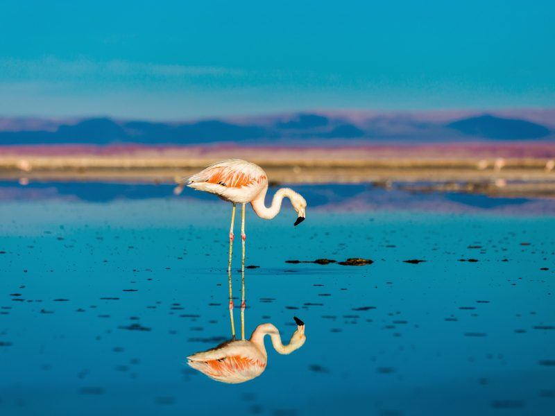 chile atacama flamingo reflection istk