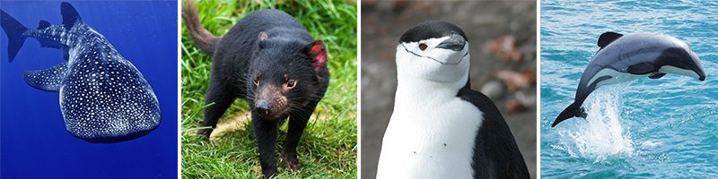 best wildlife holidays whale whark tasmanian devil chinstrap penguin hectors dolphin