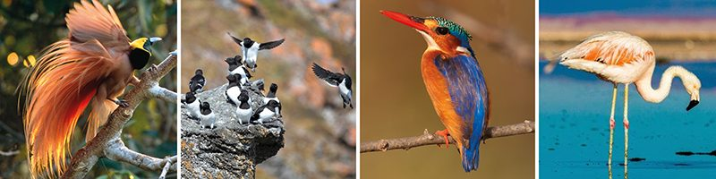 best birdwatching holidays bird of paradise little auk malachite kingfisher flamingo