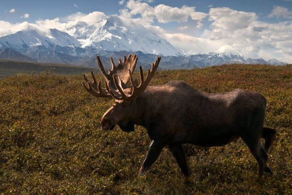 alaska denali national park moose istk