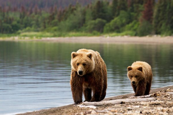 alaska grizzly bears shoreline istk