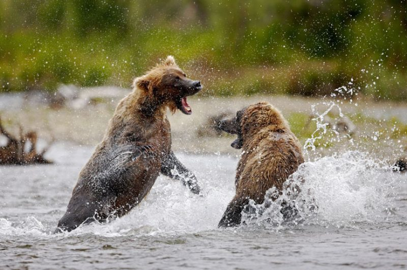 alaska katmai brown bears4 atia