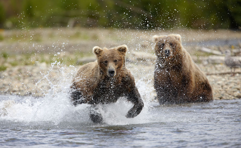alaska katmai brown bears5 atia