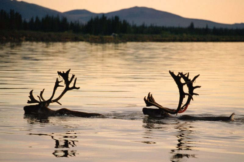 alaska north caribou swimming dusk bca