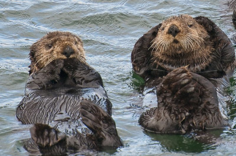alaska sitka sea otters atia