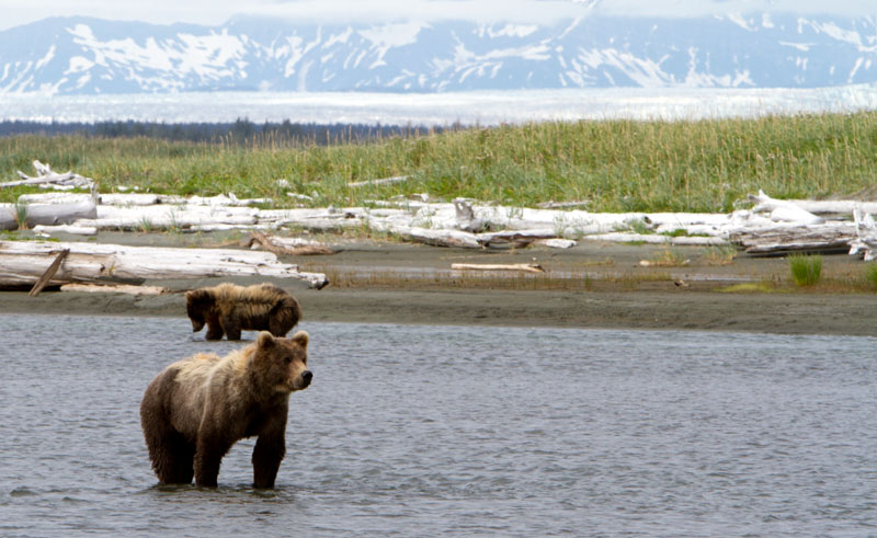 alaska ultima thule lodge brown bears