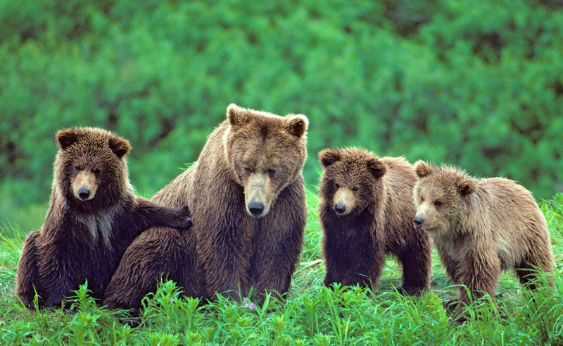 alaska wildlife grizzly bears mother cubs bca