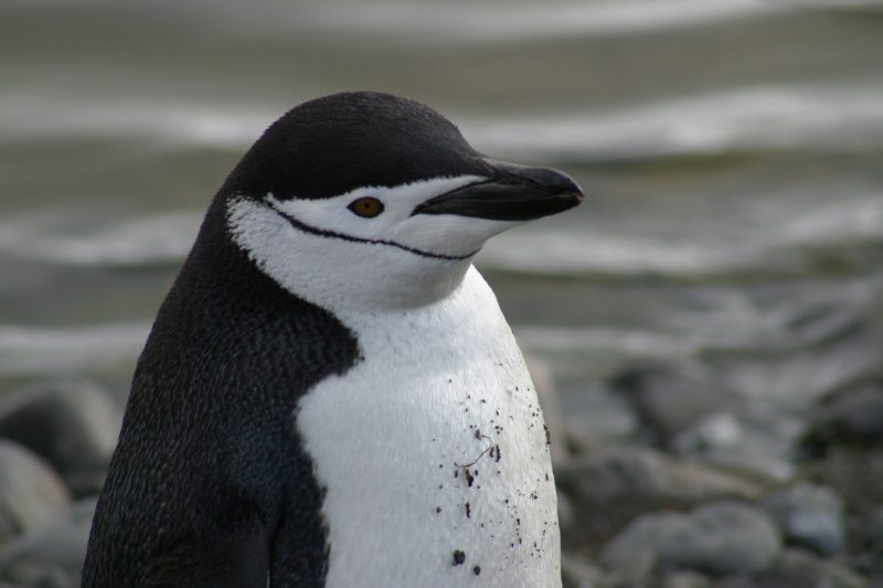 antarctic chinstrap penguin pf