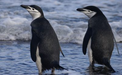 antarctica deception island chinstrap penguins ll