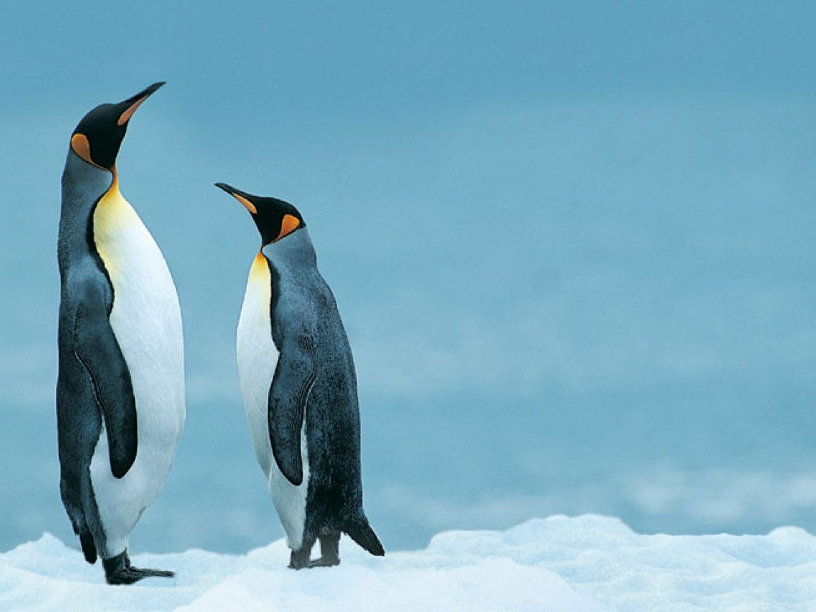 antarctica king penguins rh