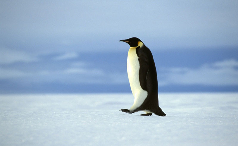 antarctica single emperor penguin oc