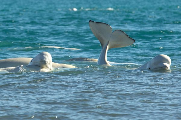 arctic canada belugas at arctic watch