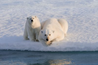 arctic canada polar bear mother and cub on ice edge ac