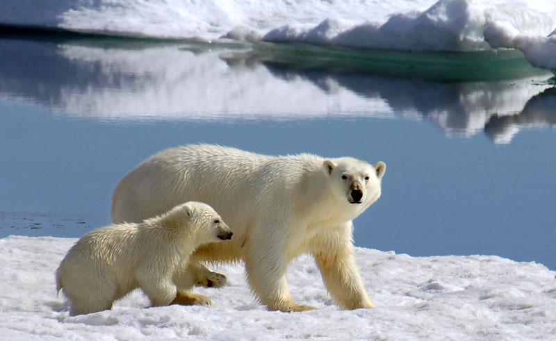arctic polar bear and cub qe
