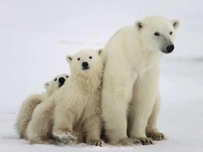 arctic polar bear mother and cubs istock