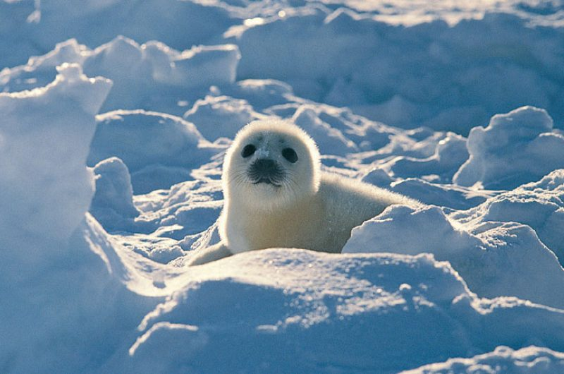 arctic wildlife harp seal2 rh