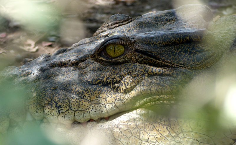 australia northern territory wildlife crocodile close up ll