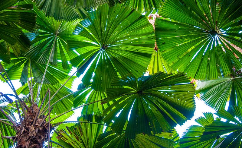 australia queensland licuala fan palm cape tribulation istk