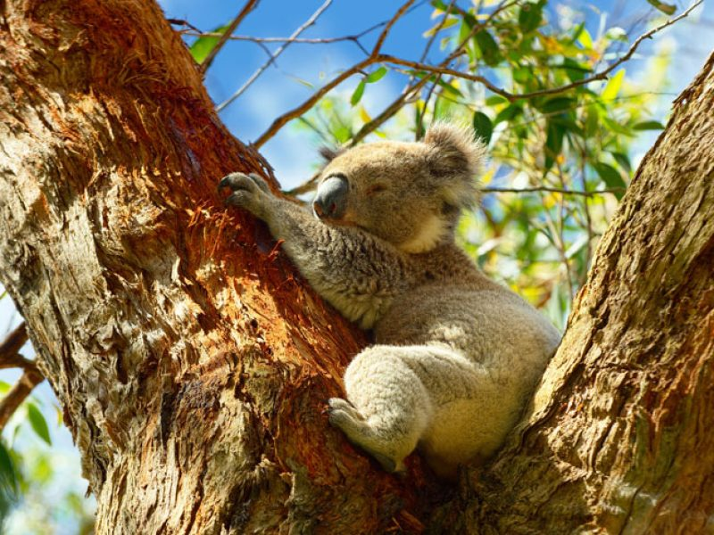 australia victoria koala in tree as