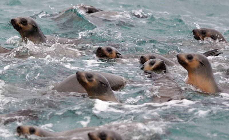 australia victoria phillip island seals is