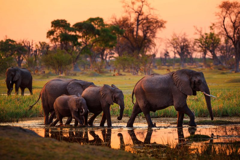botswana chobe national park elephants sunset adstk