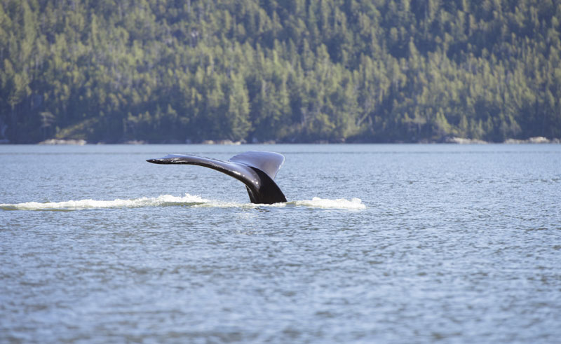 canada bc great bear rainforest whale tail ctc