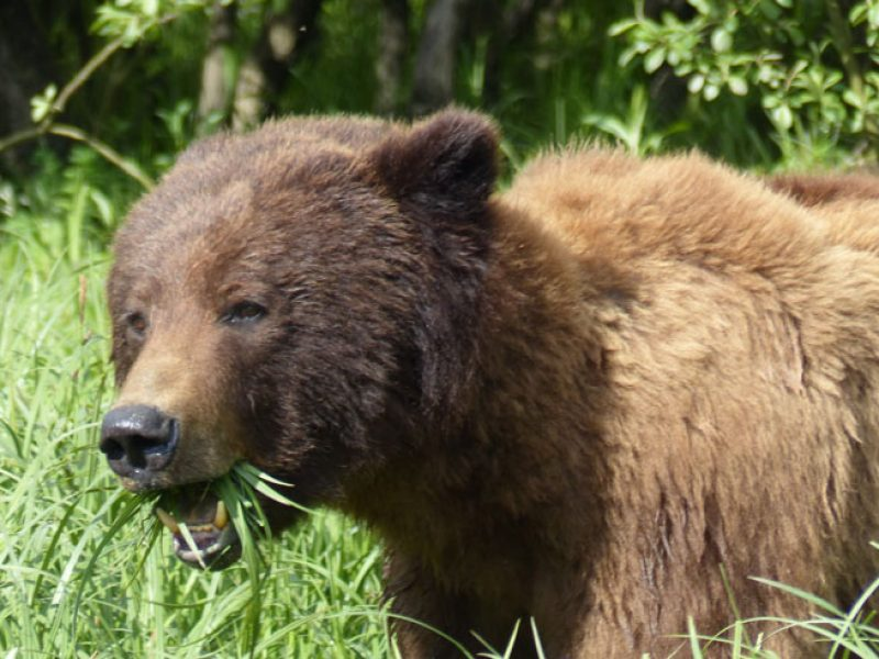canada bc grizzly bear ll