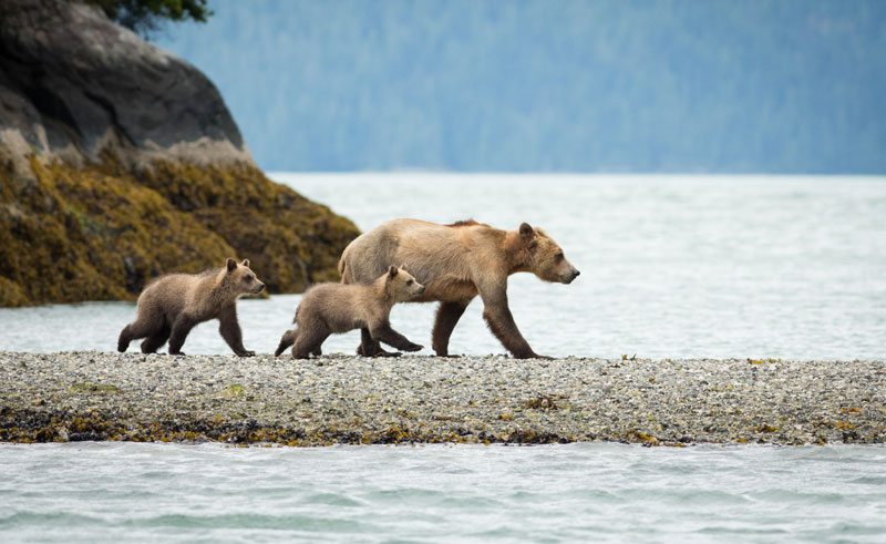 canada bc knight inlet lodge grizzly bears4