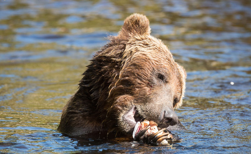 canada bc wildlife grizzly eating kil