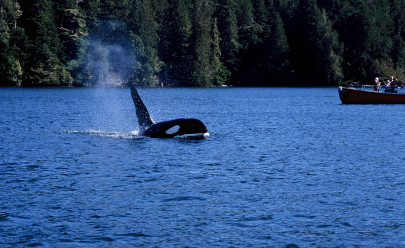 canada bc wildlife orca watching bct