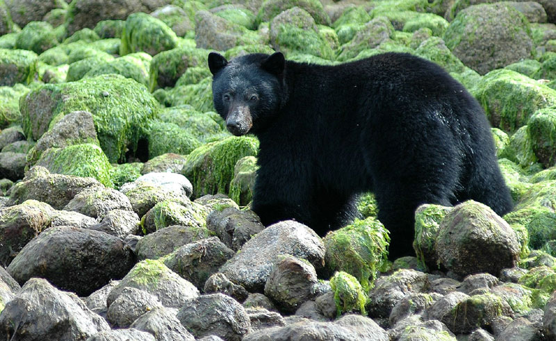 canada black bear1 tourism bc