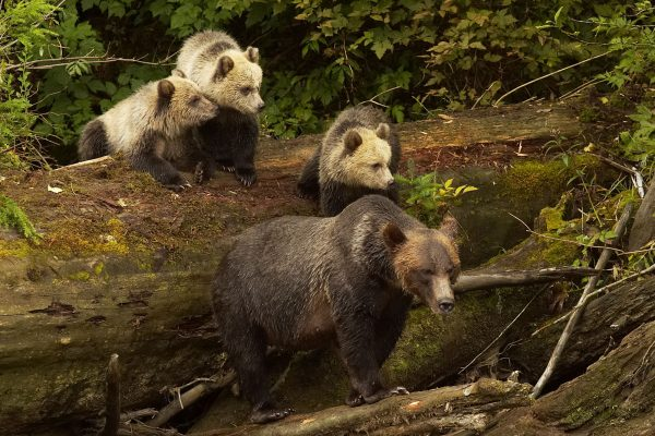 canada british columbia grizzly bear family knight inlet
