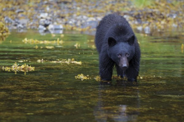 canada british columbia haida gwaii black bear ohse