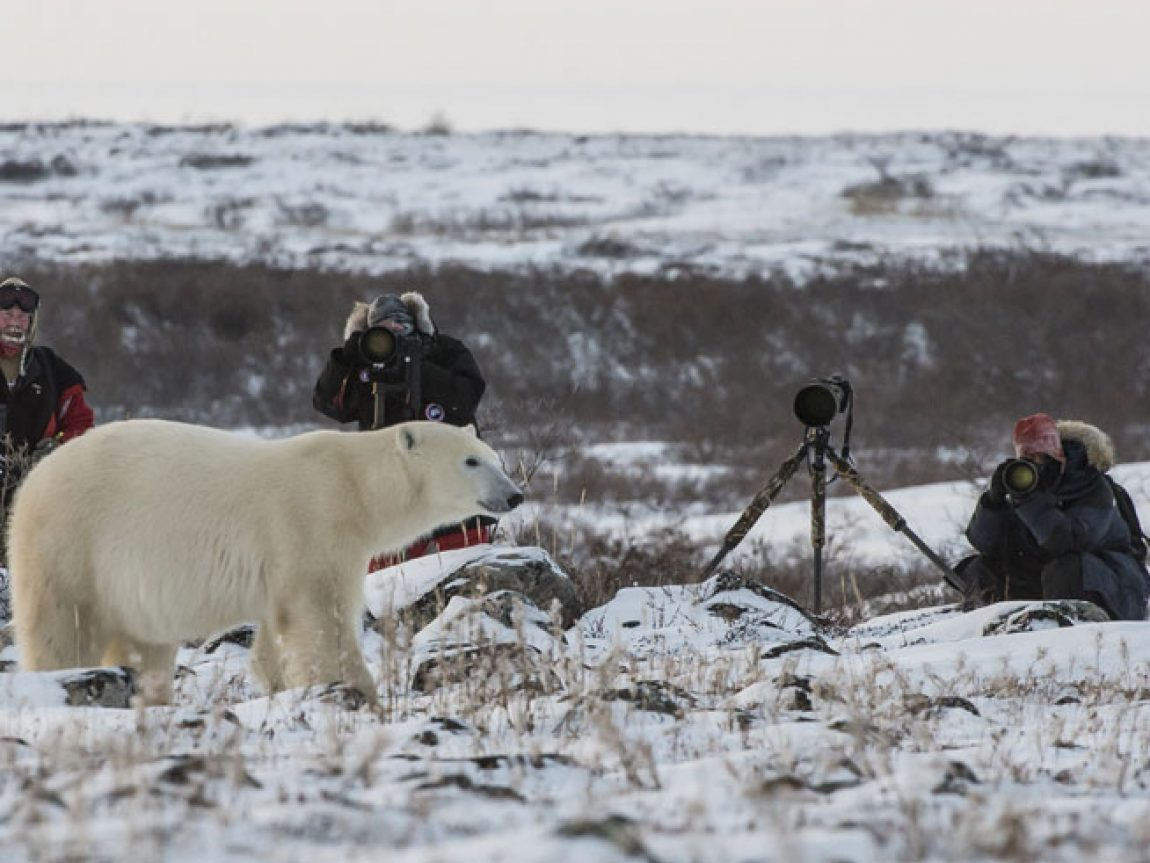 canada churchill polar bear photographers cw