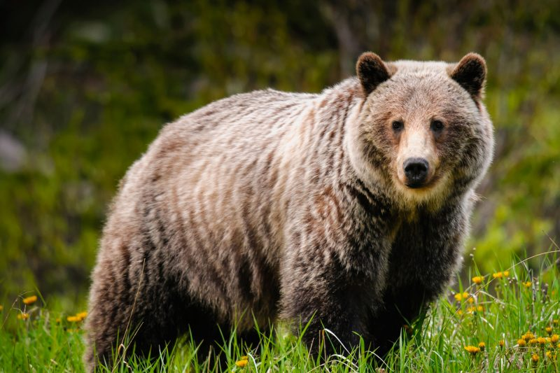canada grizzly bear in flowers istk