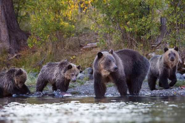 canada grizzly bears at waters edge istk