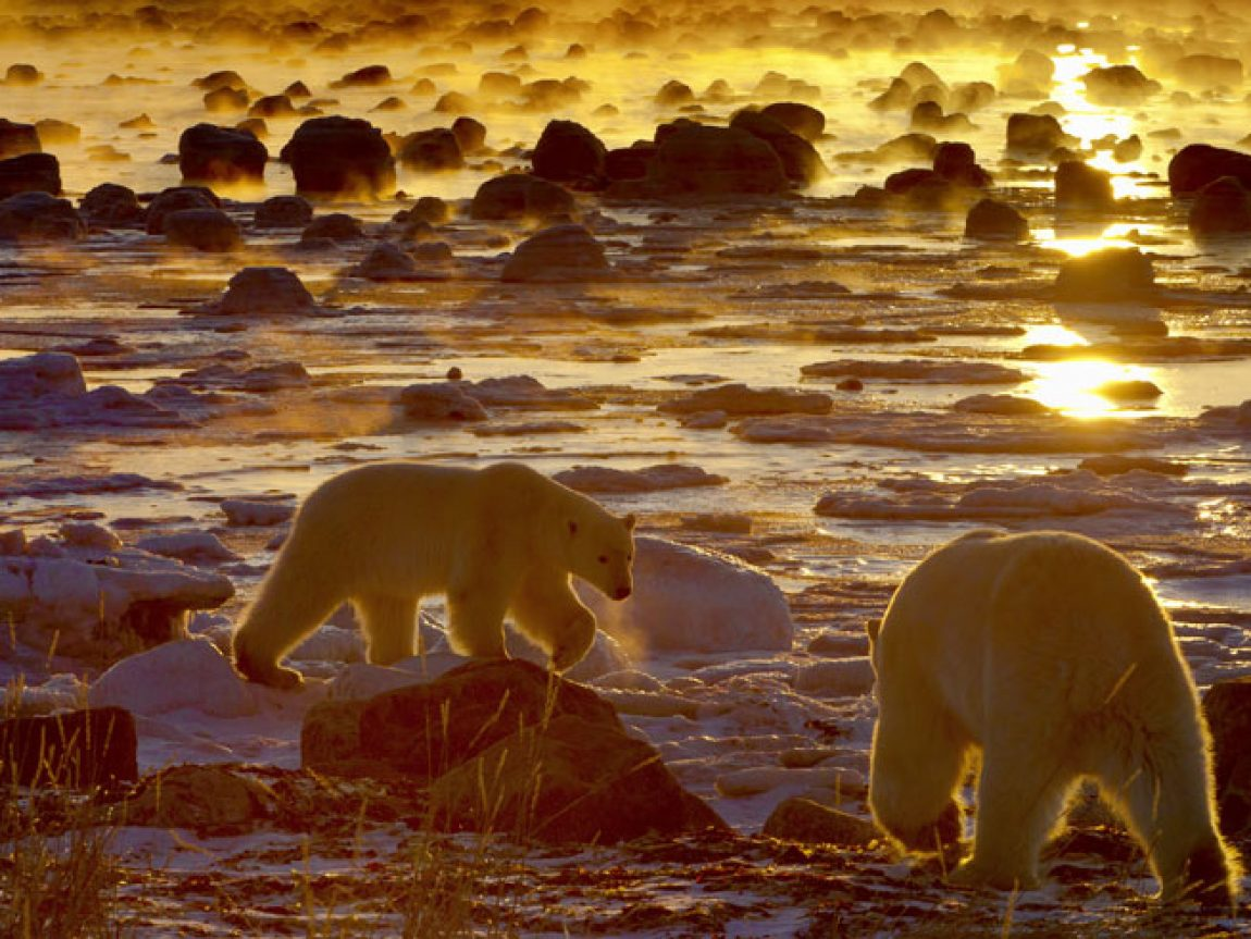 canada manitoba churchill polar bears atmospheric sunset cw