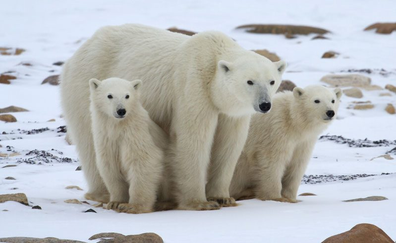 canada manitoba polar bear and cubs nh