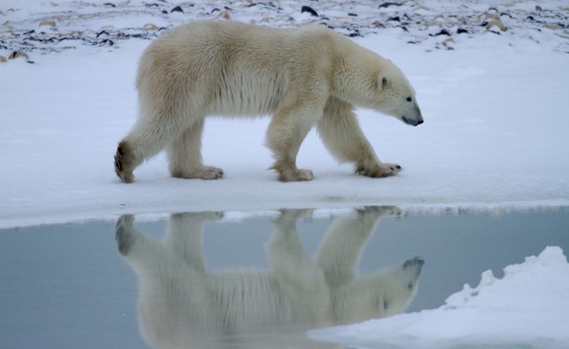 canada manitoba polar bear reflection nh
