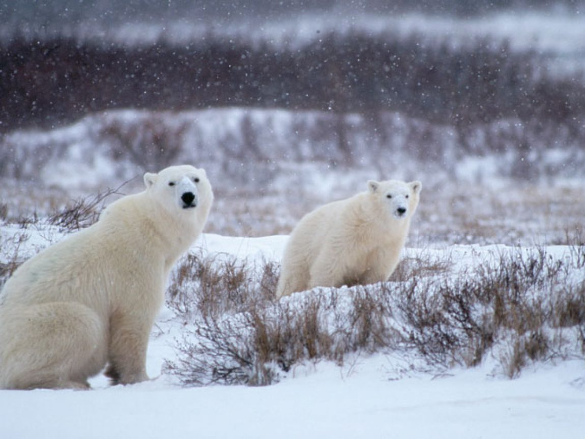 canada manitoba polar bears in snow nh