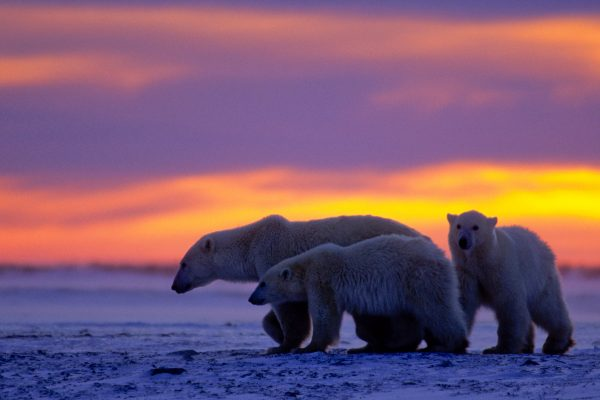 canada manitoba sunset polar bear and cubs istk