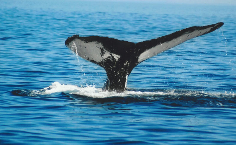 canada newfoundland humpback whale tail acn