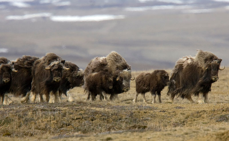 canadian arctic somerset island musk ox aw