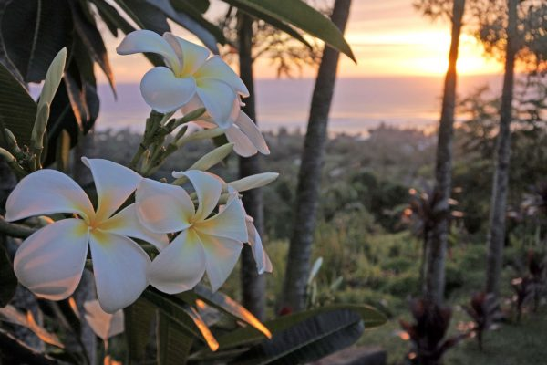 cook islands rarotonga plumeria flowers istk